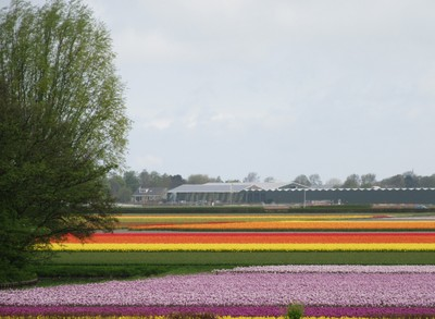 The colour stripes in this field are hundreds and thousands of tulips