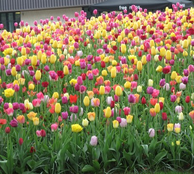 Bed of a variety of colours of tulips