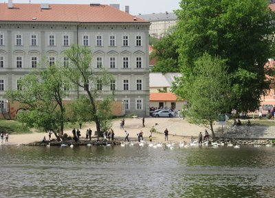 People feeding the swans along the Vltava River