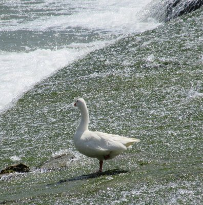 White goose watching the river go by