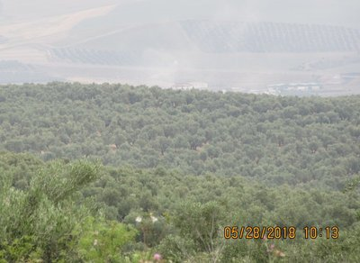 A hillside of olive trees