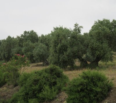 A close-up of olive trees