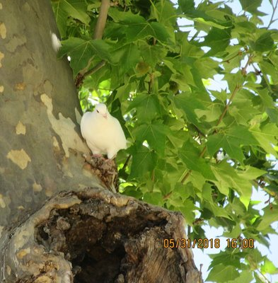 A paloma blanca (white dove) in a tree