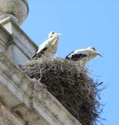 Storks in nest