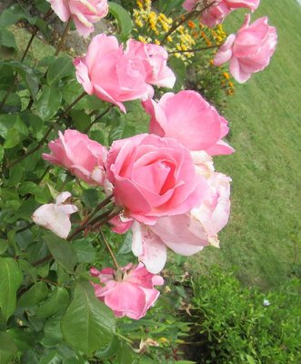 Lovely roses in the nearby garden