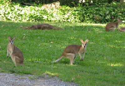 Three wallabies
