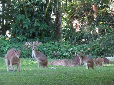 Large kangaroo and little ones - Copy