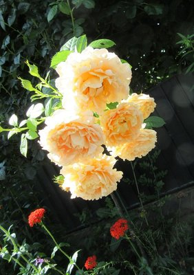 Apricot-coloured roses