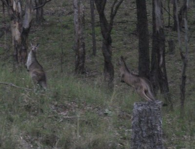 Kangaroos running off as our suv approached
