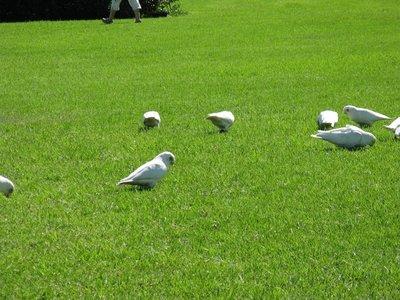 Corellas feeding on the lawn