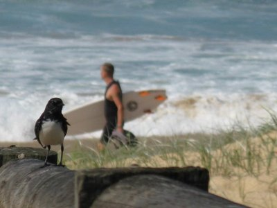 Willie Wagtail with surfer in background
