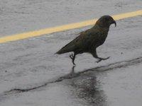A Kea bird on the road near Homer Tunnel