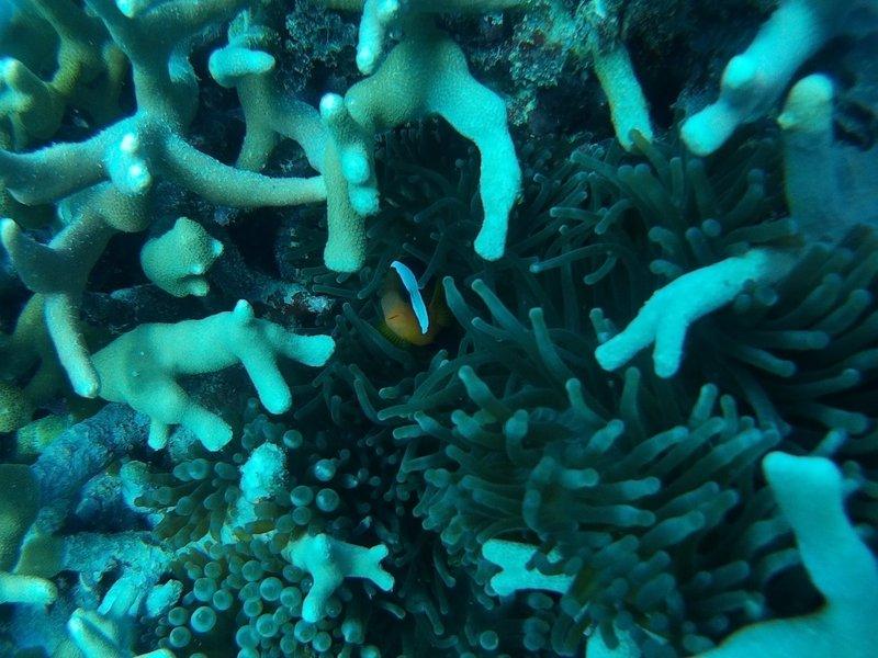 Clown Fish Hiding