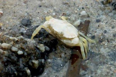 Albino_Crab.jpg