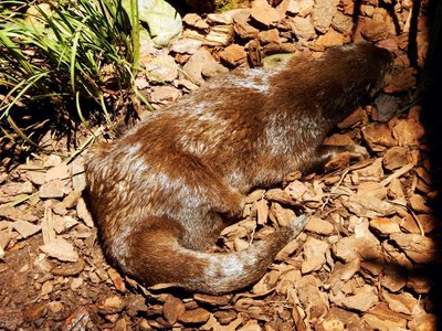 Asian_Small_Clawed_Otter.jpg