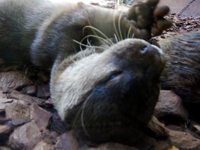 Asian_Small_Clawed_Otter3.jpg