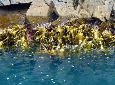 Bull_seaweed.jpg