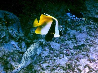 Butterfly_..moflage_cod.jpg