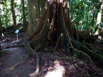 Buttress_Roots1.jpg