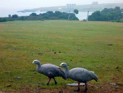 Cape_Barren_Geese.jpg