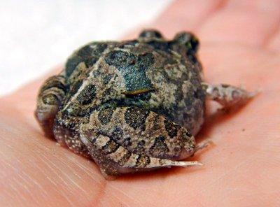 Creeking_Nursery_Frog1.jpg