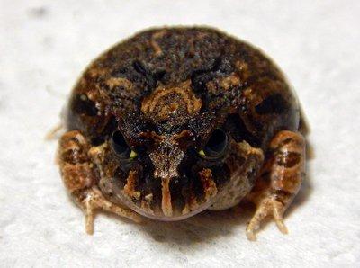 Creeking_Nursery_Frog4.jpg
