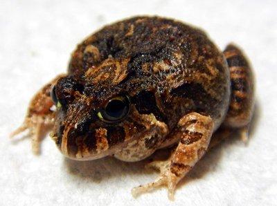 Creeking_Nursery_Frog5.jpg