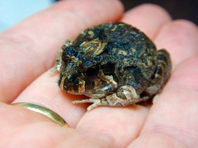 Creeking_Nursery_Frog6.jpg