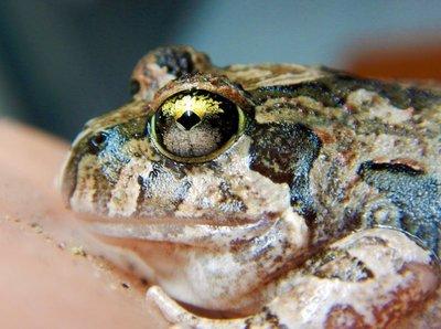 Creeking_Nursery_Frog_eye.jpg
