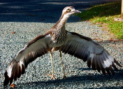 Curlew_male.jpg