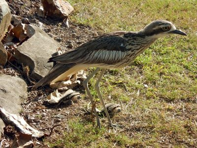 Curlew_with_chicks.jpg