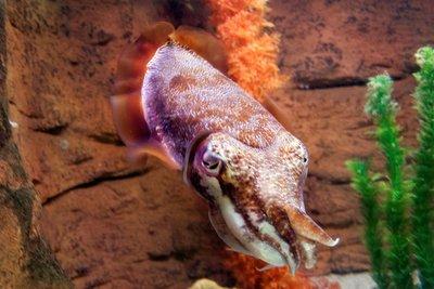 Cuttlefish_red.jpg
