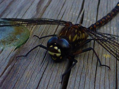 Dragonfly_close_up.jpg