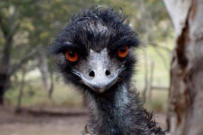 Emu1__Medium_.jpg