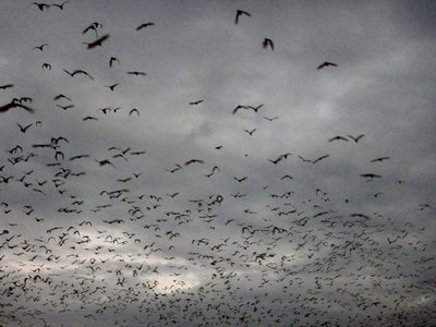 Flying_Foxes_Port_Douglas.jpg