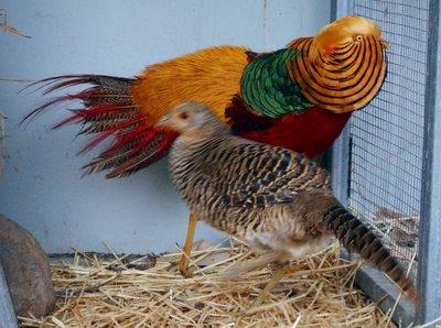 Golden_Pheasant1.jpg