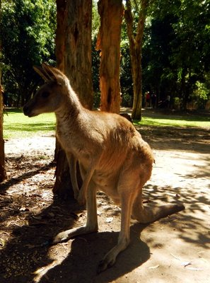 Grey_Kangaroo1.jpg