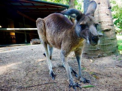 Grey_Kangaroo3.jpg