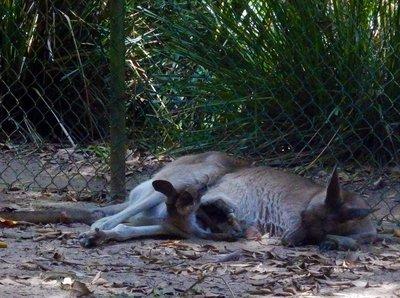 Grey_Kangaroo_Joey_out.jpg