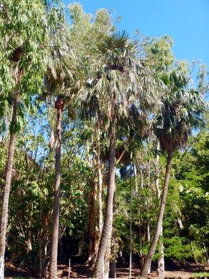 Ibis trees