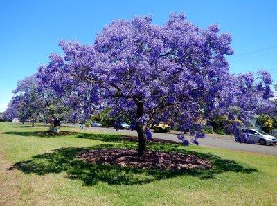 Jacaranda_Tree1.jpg
