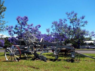 Jacaranda_Tree___plough.jpg