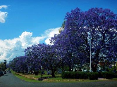 Jacaranda_Trees.jpg