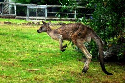 Kangaroo4jpg__Medium_.jpg