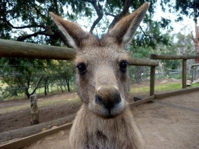 Kangaroo5__Medium_.jpg