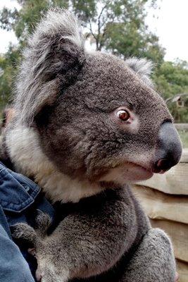 Koala1__Medium_.jpg