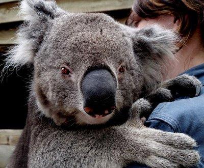 Koala2__Medium_.jpg