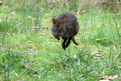 Pademelon1__Medium_.jpg