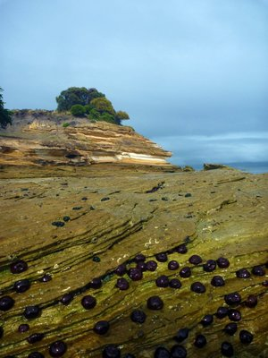 Painted_Cliffs_anemone.jpg