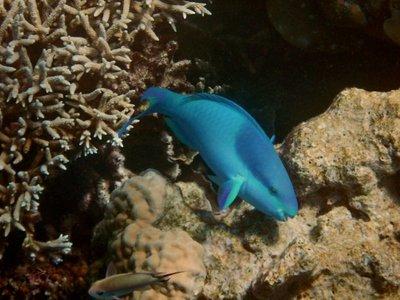 Parrot_Fish1.jpg